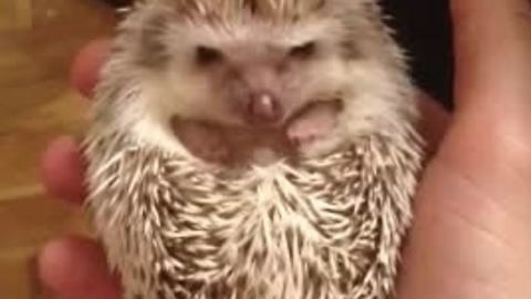 Cutest baby hedgehog waking up