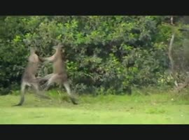 MMA amazing fight- kangaroo vs kangaroo - Video