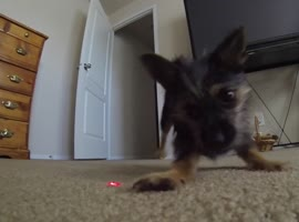 Adorable Puppy Chases Down Laser - Video