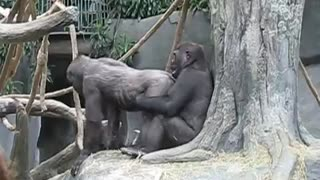gorilla love - Video