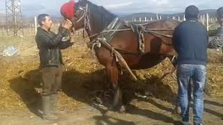 very strong Bulgarian horse - Video