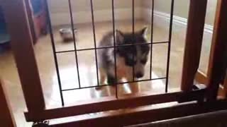 husky puppy first howl - Video