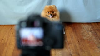 Flint The Pomeranian Smiling On Cue - Video