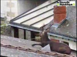 Deer Stuck on Roof in France - Video