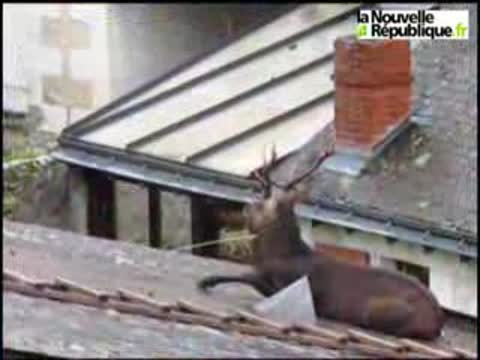 Deer Stuck on Roof in France