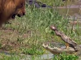 lion scare crocodile in Amazon - Video