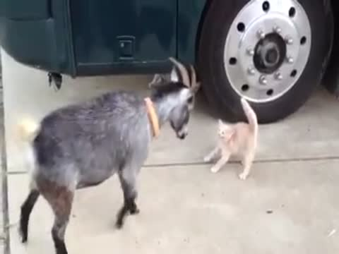 Poor relationship between a cat and a goat