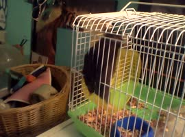 Hamster Can't Figure Out Wheel