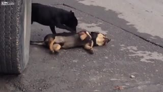 Dog is trying to revive his dead buddy! - Video