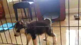 husky puppys cute - Video