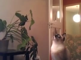 Van Halen Motivates Cat to Jump - Video
