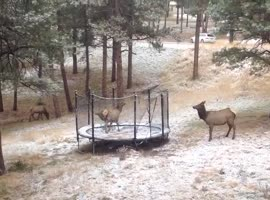 Elk Has Fun Playing on Trampoline - Video