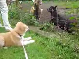 _Goat attacks akita.._ - Video