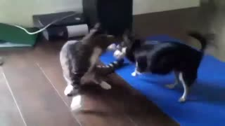 Kitten Battles Chihuahua In Adorable Fight - Video