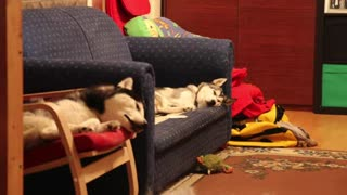 siberian husky cute - Video