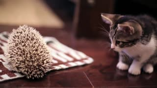 Kitten meets Hedgehog - Video