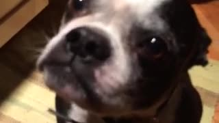 Boston Terrier Makes Funny Noises When He's Cold - Video