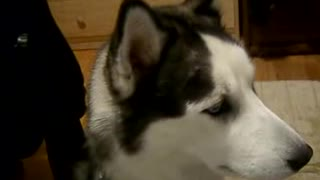 siberian husky talks - Video