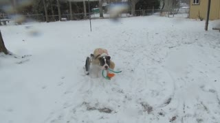 Snow bunny Pit bull with skis! - Video