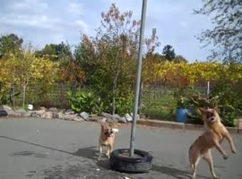 Dogs playing tetherball - Video