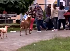 goat attacking people - Video