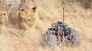 Lion Cub Plays With GoPro Camera