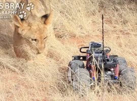 Lion Cub Plays With GoPro Camera - Video