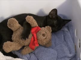 Adorable Cat Cuddles Teddy Bear - Video