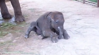 Baby elephant tries to stand for first time