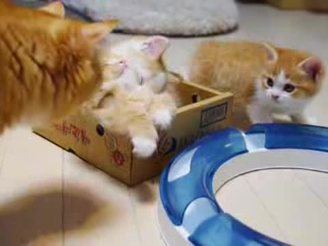 _Adorable Munchkin Kittens in a Box_