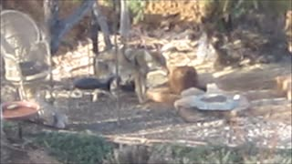 Coyote Eats Seed Block - Video