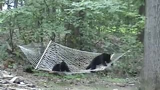 Bear Cubs Hammock - Video