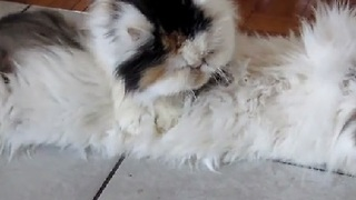 Persian Cat Gives a Swedish Massage