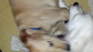 Golden Retriever Wrestle Session - Video