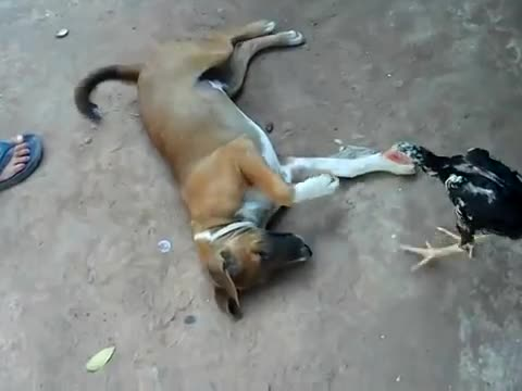 Hen Plays Around With Dog
