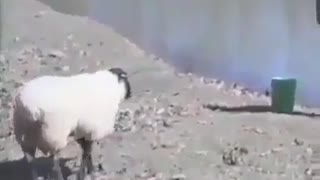 Man Vs Sheep very funny - Video
