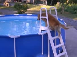 Dog Climbs Steps and Goes Swimming In Pool