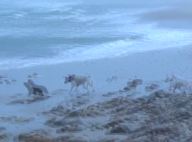 Dogs Chase Cute Baby Seal - Video