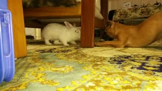 Rabbit vs Puppy Boxer - Video