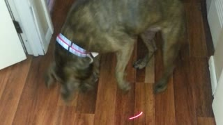 Adorable Pitbull Attacks Laser Pointer - Video