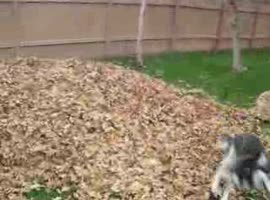 -Funny siberian husky playing in leaves-