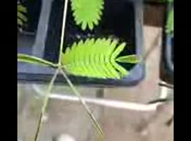 An Interesting Plant - Video