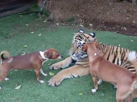 Young tiger playing with dogs
