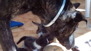 cane e gattini - Video