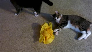 Quirky the Blind Kitten - A New Toy and it Moves..! - Video