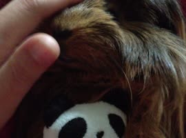 Guinea Pig Cuddles Toy - Video