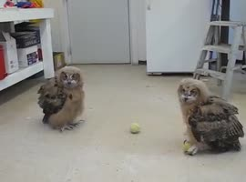 Owls play with ball - Video