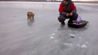 Wild fox gets food from people - Video