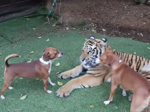 Young tiger playing with dogs-animals