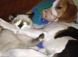 Kitten Takes Advantage of Dog With Muzzle - Video